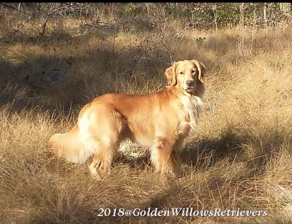 Golden Retriever Breeders In Panama City Florida
